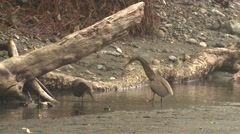 Tiger Heron Pair Aggressive Winter Bare-throated - stock footage