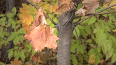 Dried Maple Leaf Stock Footage