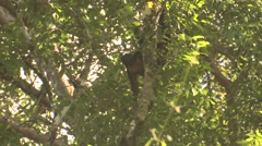 Howler Monkey Lone Feeding Winter Stock Footage