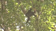 Howler Monkey Lone Winter Stock Footage
