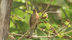 Clay-colored Thrush Lone Winter National Bird Stock Footage