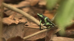 Green-and-black Poison Dart Frog Lone Winter Arrow - stock footage