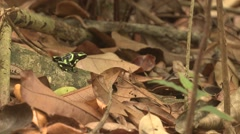 Green-and-black Poison Dart Frog Lone Winter Arrow Habitat Jungle Rainforest Stock Footage