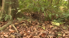 Green-and-black Poison Dart Frog Lone Resting Winter Arrow Zoom In Stock Footage