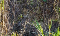 Wild Jaguar behind plants in riverbank, Pantanal, Brazil Stock Photos