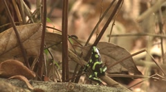 Green-and-black Poison Dart Frog Lone Winter Arrow Stock Footage