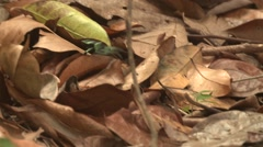 Green-and-black Poison Dart Frog Lone Jumping Winter Arrow Hopping Moving Stock Footage