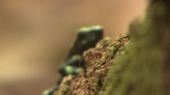 Green-and-black Poison Dart Frog Lone Winter Arrow Focus Transition Stock Footage
