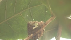 Rufous-tailed Hummingbird Nesting Winter Nest Stock Footage