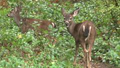 Young Black Tailed Deer in Forest Stock Footage