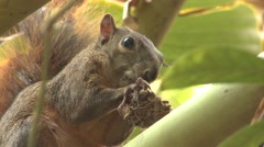 Rodent Corcovado National Park Lone Feeding Winter - stock footage