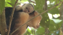 White-faced Capuchin Female Adult Young Pair Climbing Winter White-headed - stock footage