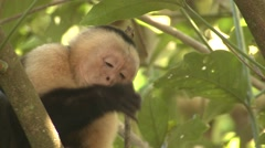 White-faced Capuchin Lone Feeding Winter White-headed Stock Footage