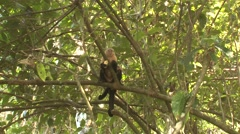 White-faced Capuchin Female Adult Young Pair Feeding Winter White-headed Stock Footage
