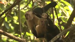 White-faced Capuchin Several Aggressive Winter White-headed Stock Footage