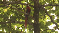 Scarlet Macaw Lone Stretching Winter - stock footage