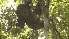 Brown-throated Three-toed Sloth Winter Stock Footage