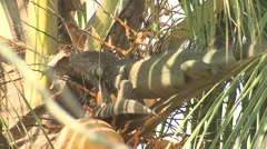 Green Iguana Adult Lone Winter Stock Footage