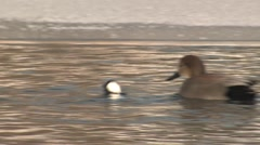 Bufflehead Drake Pair Diving Winter Ice Slow Motion Stock Footage