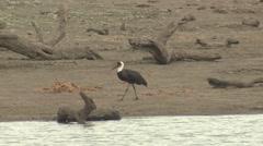Marabou Stork Adult Lone Walking Winter Stock Footage