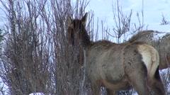 Elk Adult Several Feeding Winter Eating Buds Woody Vegetation Browsing Stock Footage