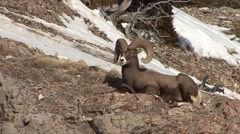 Bighorn Sheep Ram Adult Lone Resting Winter Trophy - stock footage