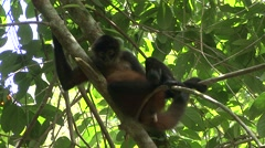 Spider Monkey Lone Curious Winter Stock Footage