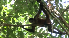 Spider Monkey Lone Resting Winter Canopy Zoom Out - stock footage
