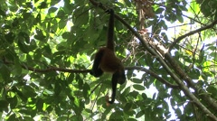 Spider Monkey Adult Lone Playing Winter Hanging Swinging Tail Stock Footage