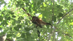 Spider Monkey Lone Aggressive Winter Canopy Teeth Handheld Stock Footage