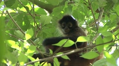 Spider Monkey Lone Alarmed Winter Shaking Branches Stock Footage