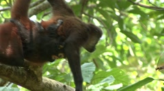 Spider Monkey Female Adult Young Pair Climbing Winter Baby Stock Footage