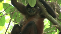 Spider Monkey Female Adult Young Pair Resting Winter Baby Stock Footage