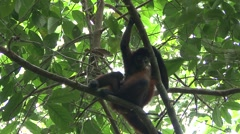 Spider Monkey Female Adult Young Pair Winter Baby Stock Footage