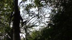 Tamandua Adult Lone Climbing Winter Northern Backlight Stock Footage
