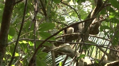 Tamandua Adult Lone Winter Northern Zoom In Stock Footage