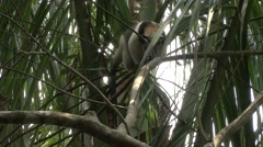 Tamandua Adult Lone Walking Winter Northern Branch Tree Stock Footage