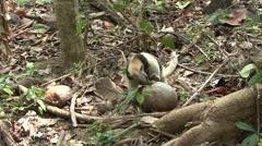 Tamandua Adult Lone Feeding Winter Northern Stock Footage