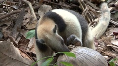 Tamandua Adult Lone Feeding Winter Northern Stock Footage