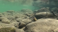 Dipper Lone Diving Winter Underwater Stock Footage