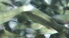 Rainbow Trout School Feeding Winter Frenzy Underwater Stock Footage