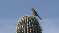 Songbird Organ Pipe Cactus National Monument Lone Spring - stock footage