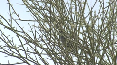 Black-capped Gnatcatcher Lone Spring Stock Footage