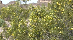 Creosote Bush Flower Spring Desert - stock footage