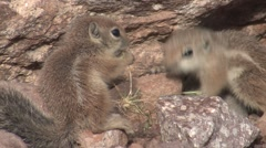 White-tailed Antelope Ground Squirrel Young Family Feeding Spring Stock Footage