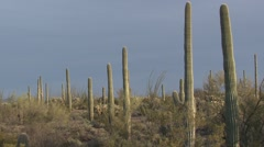 Saguaro Cactus Several Spring Stock Footage
