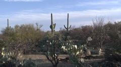 Desert Saguaro National Park Spring Prickly Pear Saguaro Cactus - stock footage