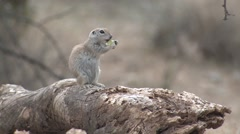 Round-tailed Ground Squirrel Pair Feeding Spring Stock Footage