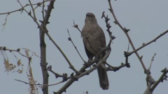 Curve-billed Thrasher Lone Spring Stock Footage