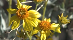 Brittlebush Many Flower Spring Desert Stock Footage